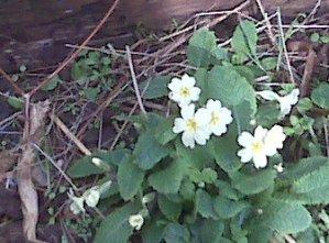 hidden primrose