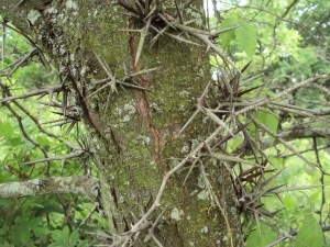 honey-locust-trunk-4
